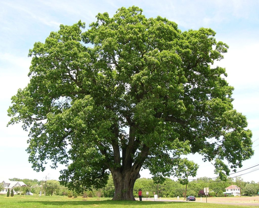 Plant pathologist to present an oak tree disease threatening area